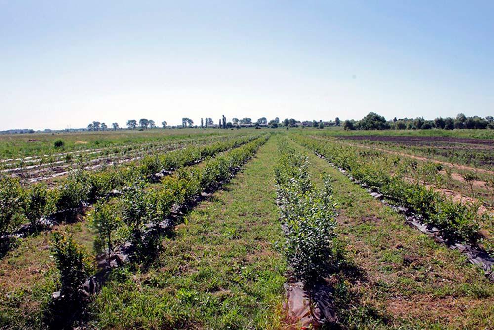 Голубика как бизнес, бизнес план голубика, выращивание голубики как бизнес